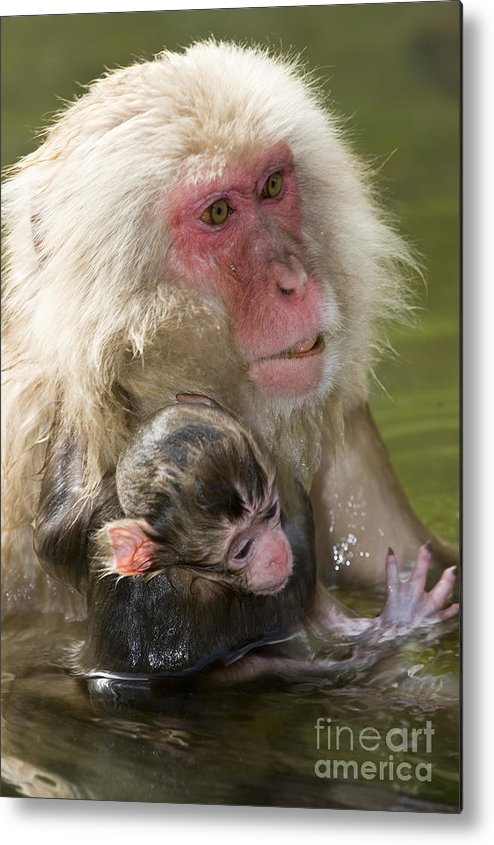 Asia Metal Print featuring the photograph Snow Monkeys, Japan by John Shaw