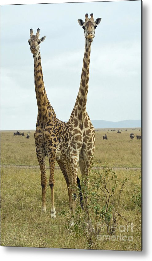 Africa Metal Print featuring the photograph Giraffe by John Shaw