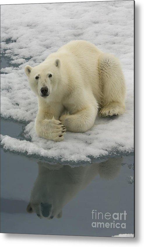 Polar Bear Metal Print featuring the photograph Polar Bear Resting On Ice by John Shaw