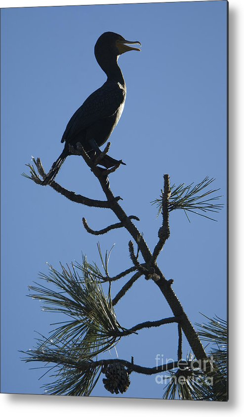 Nature Metal Print featuring the photograph Double-crested Cormorant by John Shaw