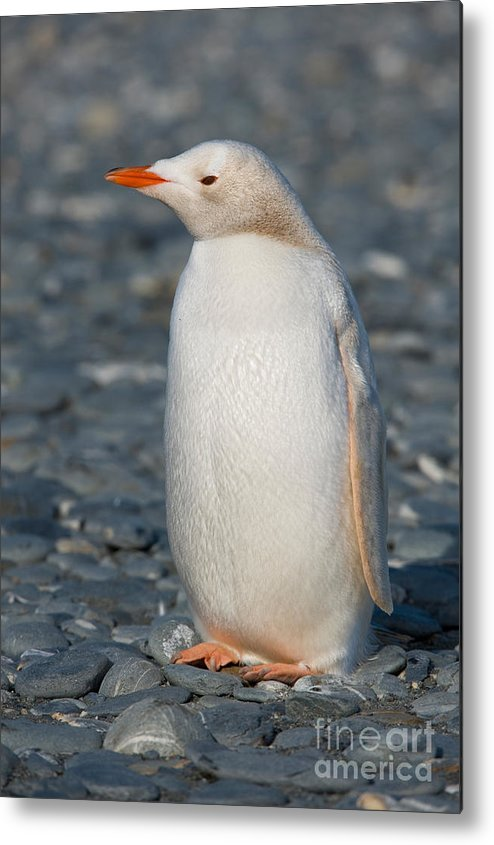 Leucistic Metal Print featuring the photograph Gentoo Penguin by John Shaw