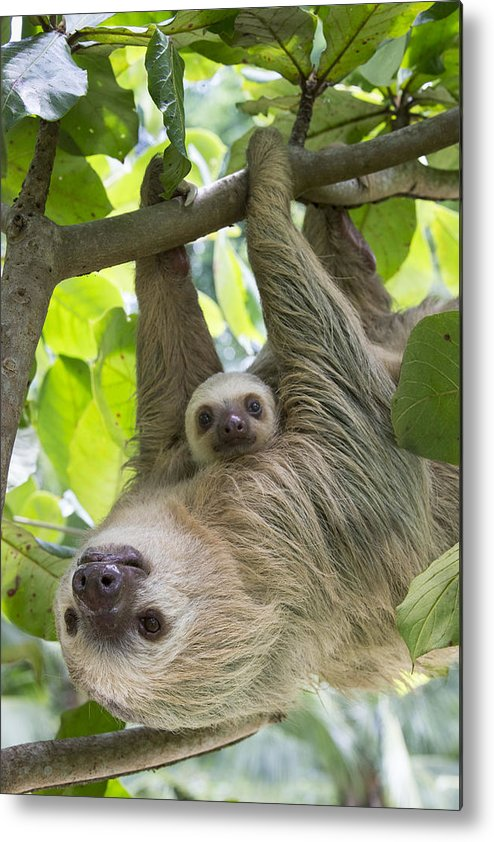 Suzi Eszterhas Metal Print featuring the photograph Hoffmanns Two-toed Sloth And Old Baby by Suzi Eszterhas