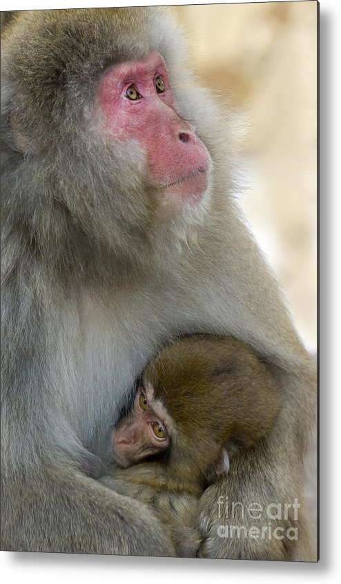 Baby Animal Metal Print featuring the photograph Japanese Macaques by John Shaw