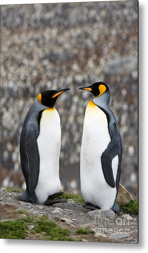 Animal Metal Print featuring the photograph King Penguin by John Shaw