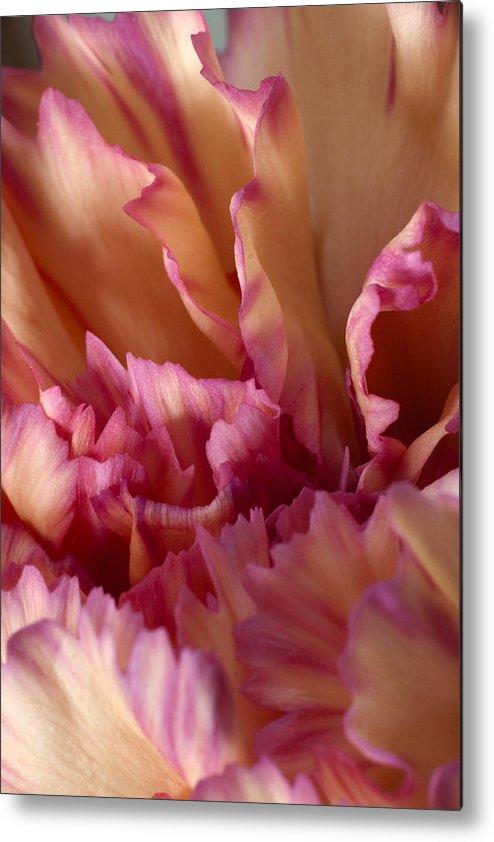 Carnation Metal Print featuring the photograph Carnation by Daniel Csoka