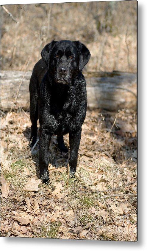 Black Lab Metal Print featuring the photograph Black Labrador Retriever by Linda Freshwaters Arndt