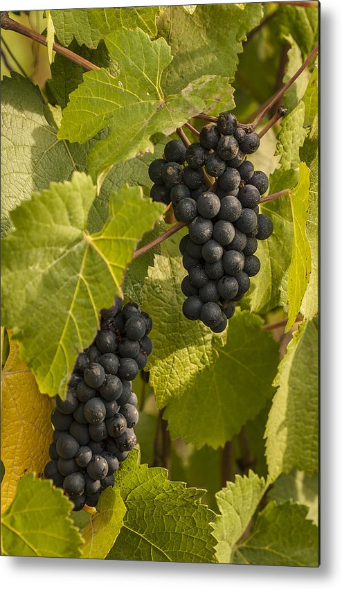 Crop Metal Print featuring the photograph A Pair Of Clusters by Jean Noren