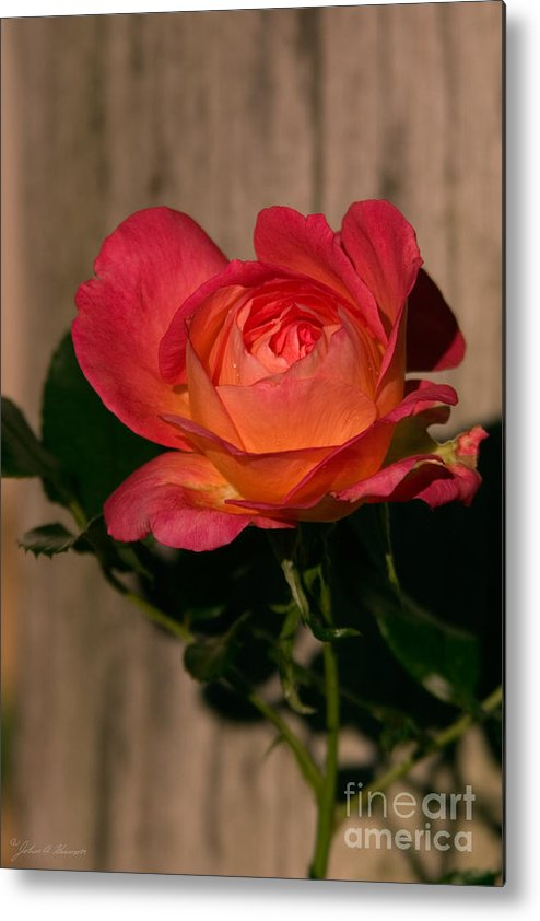 Rose Metal Print featuring the photograph A Red Rosr Against A Weathered Wood Background by John Harmon