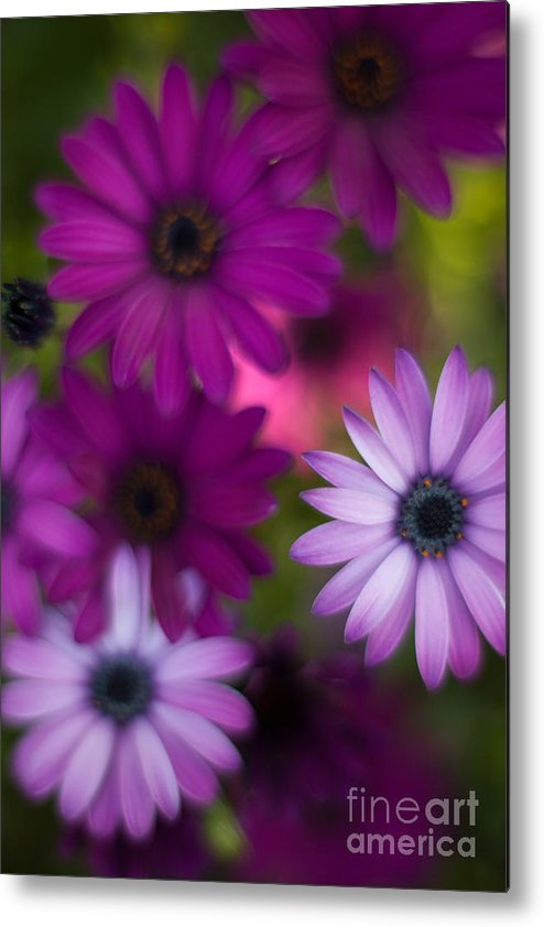 Flower Metal Print featuring the photograph African Daisy Collage by Mike Reid