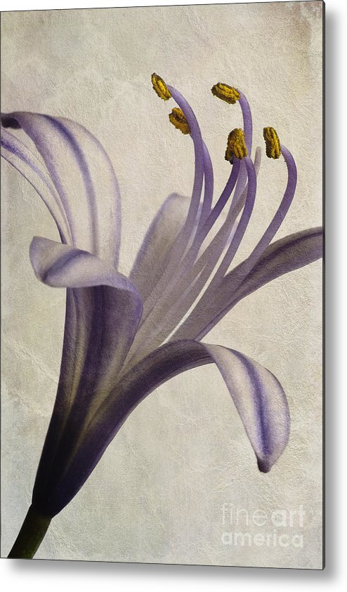 African Star Metal Print featuring the photograph Agapanthus Africanus Star by John Edwards