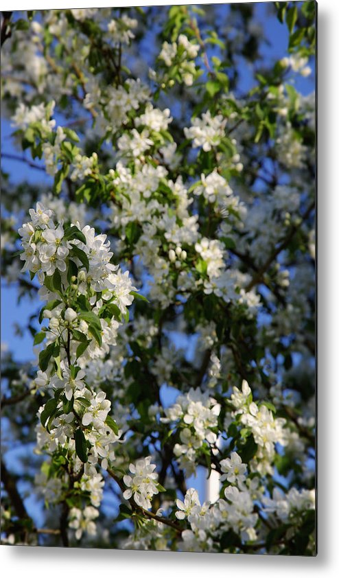 Spring Metal Print featuring the photograph Apple Blossoms by Kellianne Hutchinson