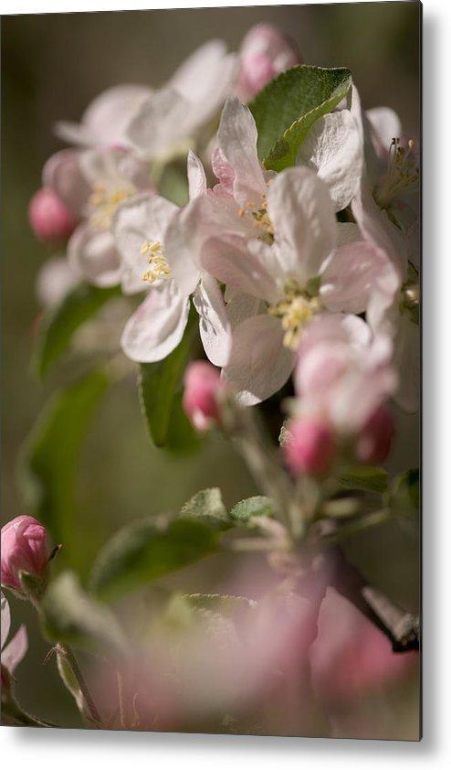 Flowers Metal Print featuring the photograph Apple Flowers by Bernard Lynch