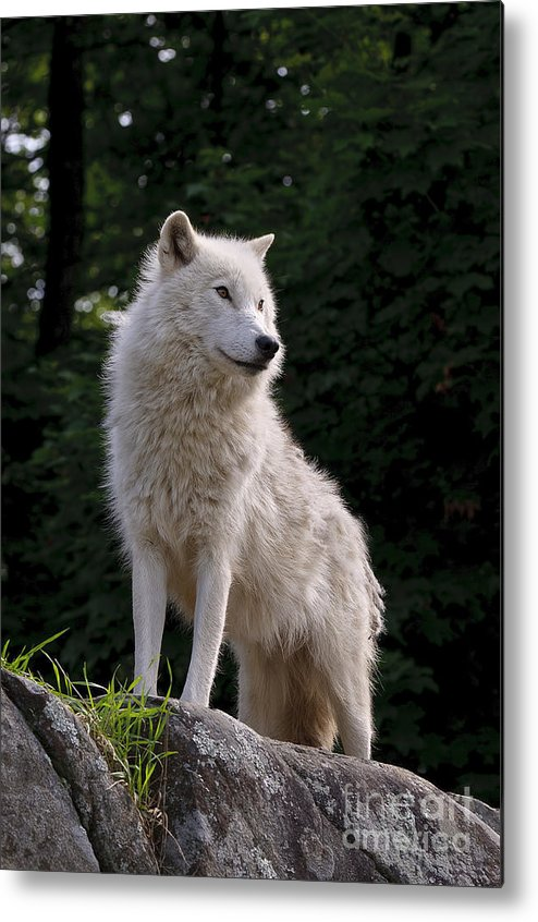 Arctic Wolf Photography Metal Print featuring the photograph Arctic Wolf On Hill by Wolves Only