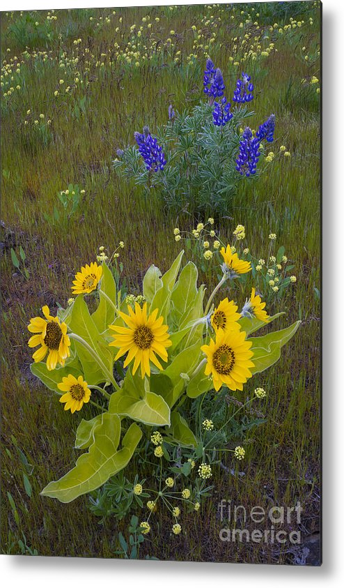 Nature Metal Print featuring the photograph Arrowleaf Balsamroot And Lupine by John Shaw