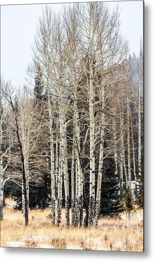 Colorado Metal Print featuring the photograph Aspens 2 by Karen Saunders