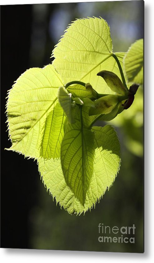 Leafs Metal Print featuring the photograph Backlit by Rick Rauzi