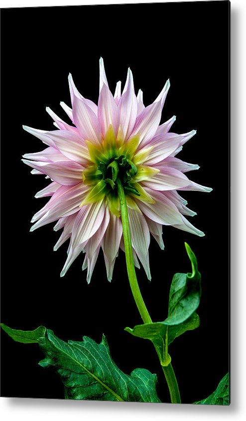 Dahlia Metal Print featuring the photograph Backside by Paul Johnson
