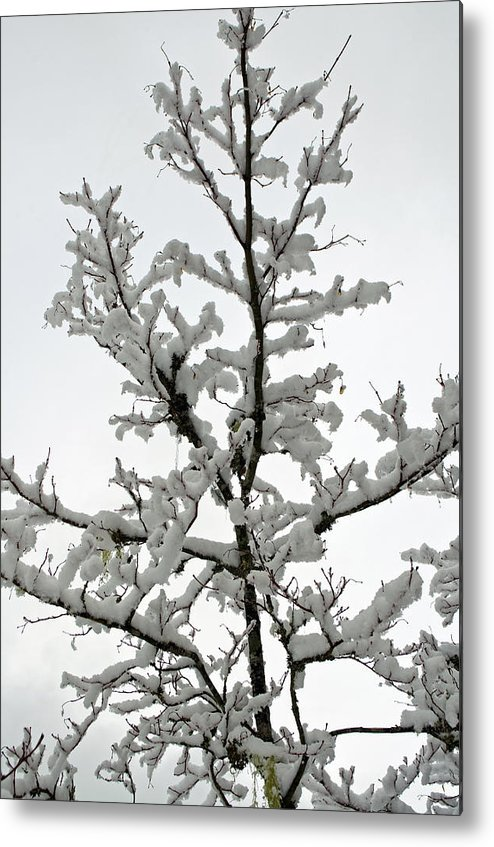 Bare Branches Metal Print featuring the photograph Bare Branches With Snow by Tikvah's Hope