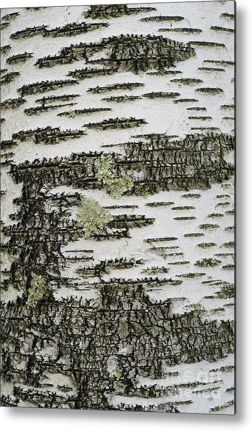Bark Metal Print featuring the photograph Bark Of Paper Birch by Gregory G Dimijian