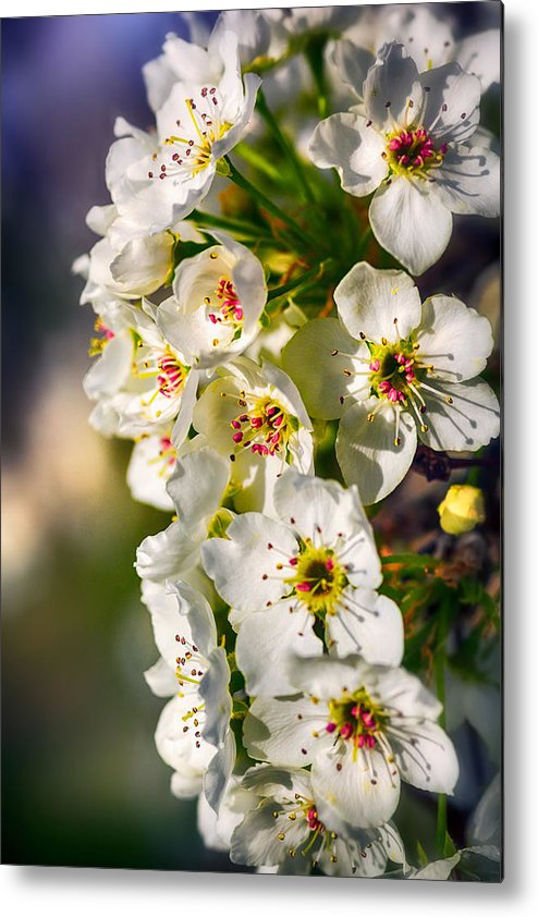 Blue Metal Print featuring the photograph Beautiful Blossoms by Sennie Pierson