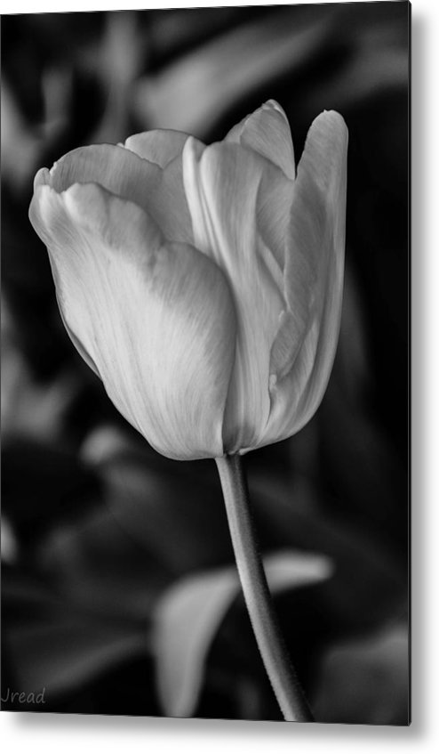 Tulip Metal Print featuring the photograph Blossoming Tulip by Jamie Read