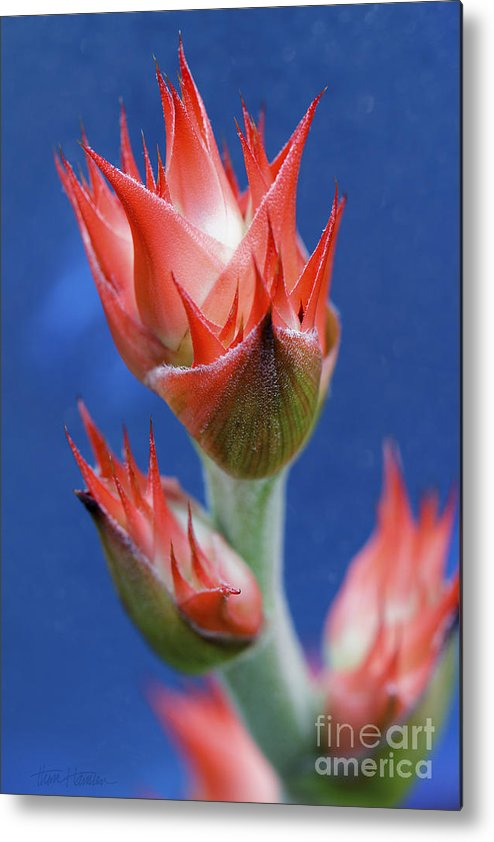 Bromeliad Metal Print featuring the photograph Bromeliad On Blue by Thom Hanssen