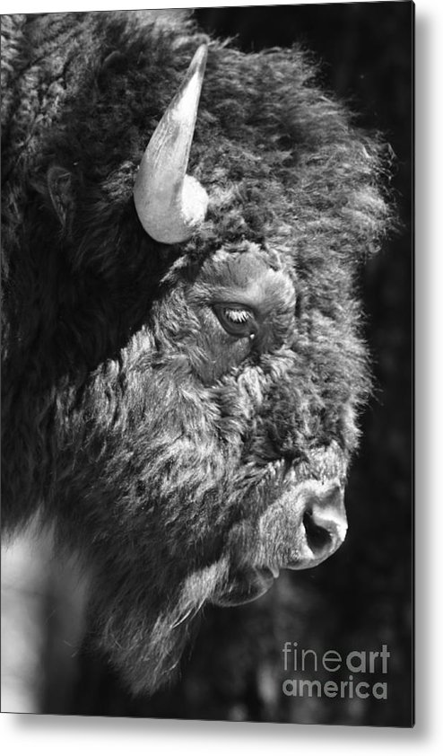 Nature Metal Print featuring the photograph Buffalo Portrait by Robert Frederick