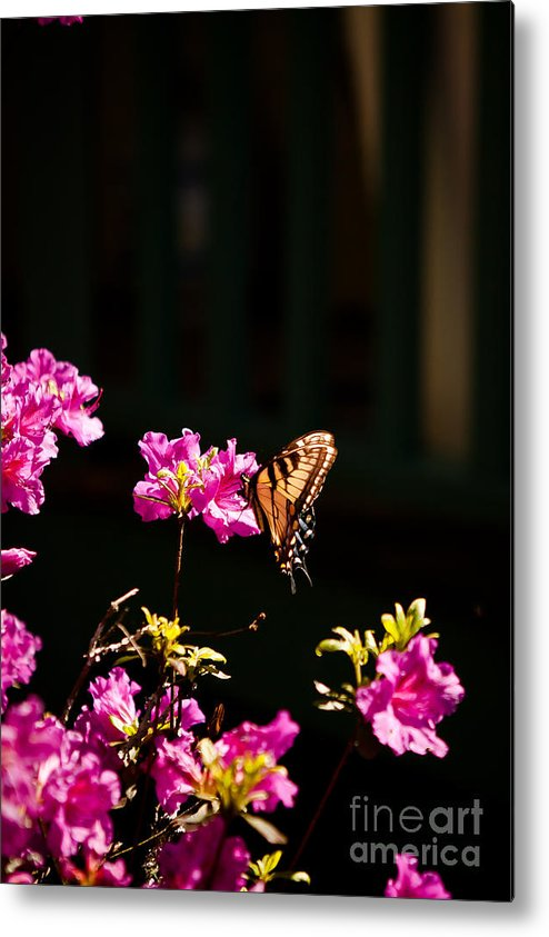 Butterfly Metal Print featuring the photograph Butterfly And Azalea by Sarah Valentine