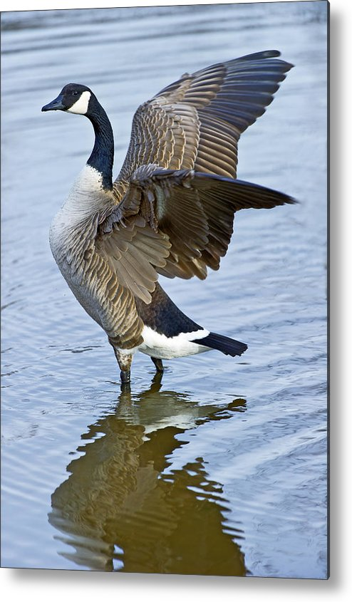 Canadian Metal Print featuring the photograph Canadian Goose Stretching by Gary Langley