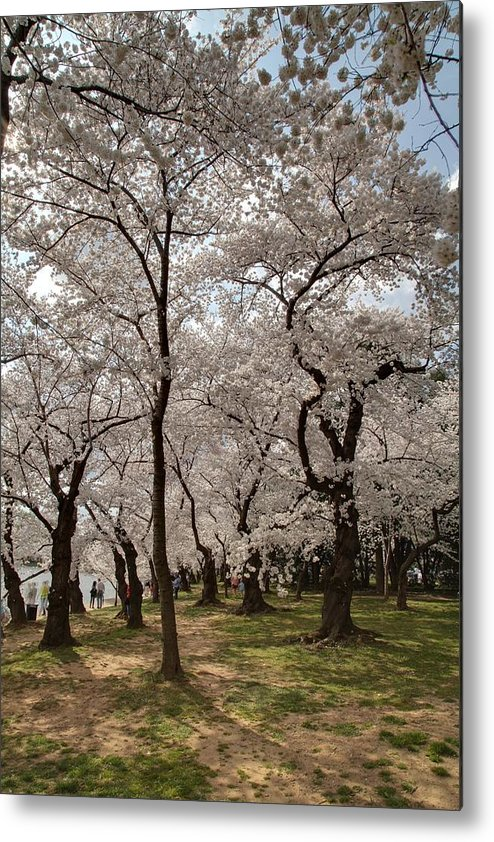 America Metal Print featuring the photograph Cherry Blossoms - Washington Dc - 011378 by DC Photographer