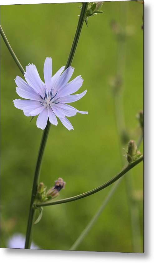 Asteraceae Metal Print featuring the photograph Chicory Flower by Jeanne White