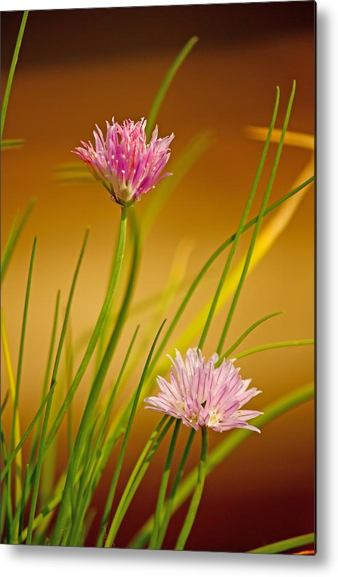 Chives Metal Print featuring the photograph Chives Flowers by Borislav Marinic