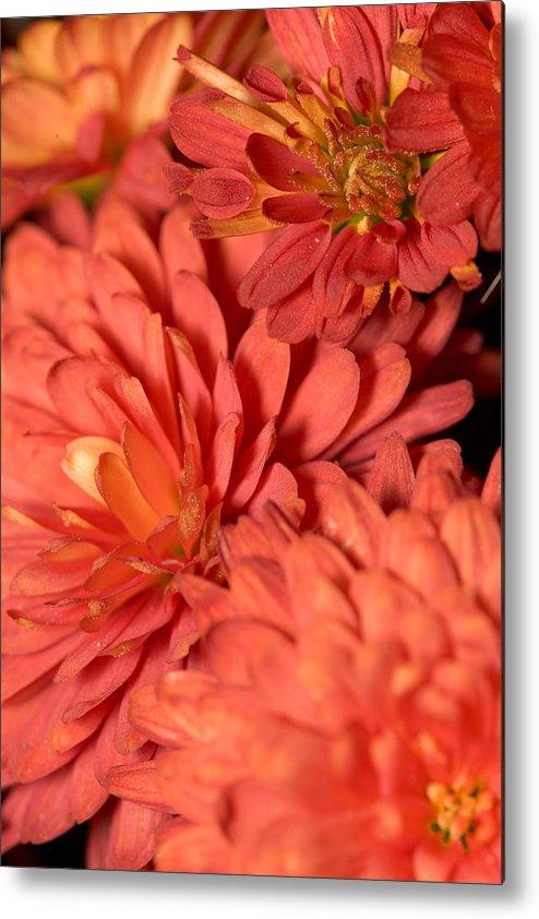 Red Metal Print featuring the photograph Chrysanthemum by Bernard Lynch