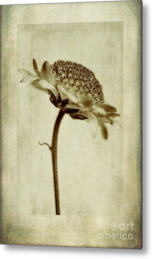 Chrysanthemum Domino Pink In Sepia Metal Print featuring the photograph Chrysanthemum In Sepia by John Edwards