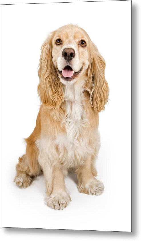 Dog Metal Print featuring the photograph Cocker Spaniel Dog Isolated On White by Susan Schmitz