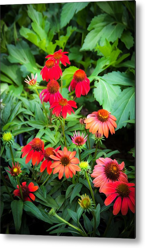 Echinacea Metal Print featuring the photograph Coneflowers Echinacea Rudbeckia by Rich Franco