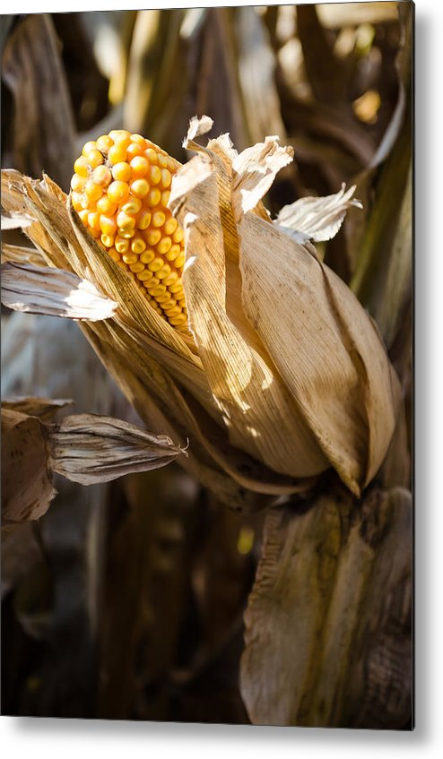 Corn Metal Print featuring the pyrography Corn In Husk by Crystal Crist