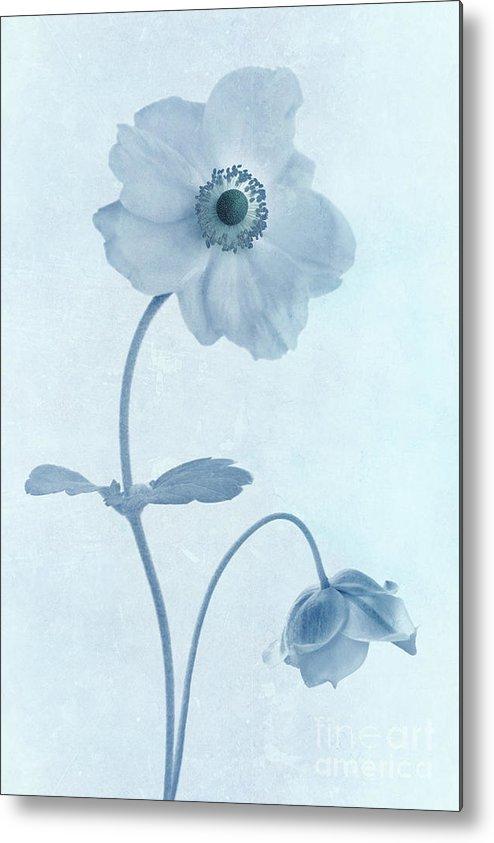 Japanese Windflowers Metal Print featuring the photograph Cyanotype Windflowers by John Edwards