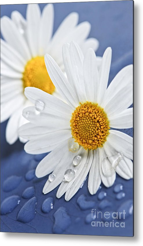 Flower Metal Print featuring the photograph Daisy Flowers With Water Drops by Elena Elisseeva