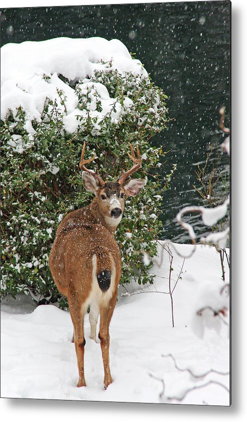 Deer Metal Print featuring the photograph Deer In Falling Snow by Peggy Collins