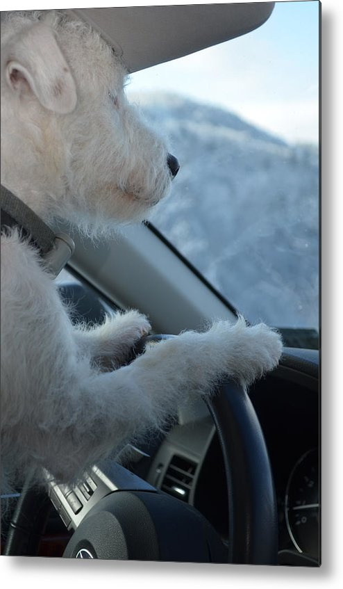 Jack Russell Metal Print featuring the photograph Designated Driver by Judy Harris