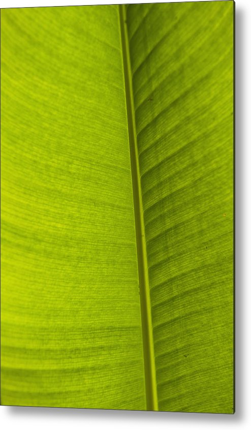 Cumming Metal Print featuring the photograph Detail Of Banana Leaf Andromeda by Ian Cumming