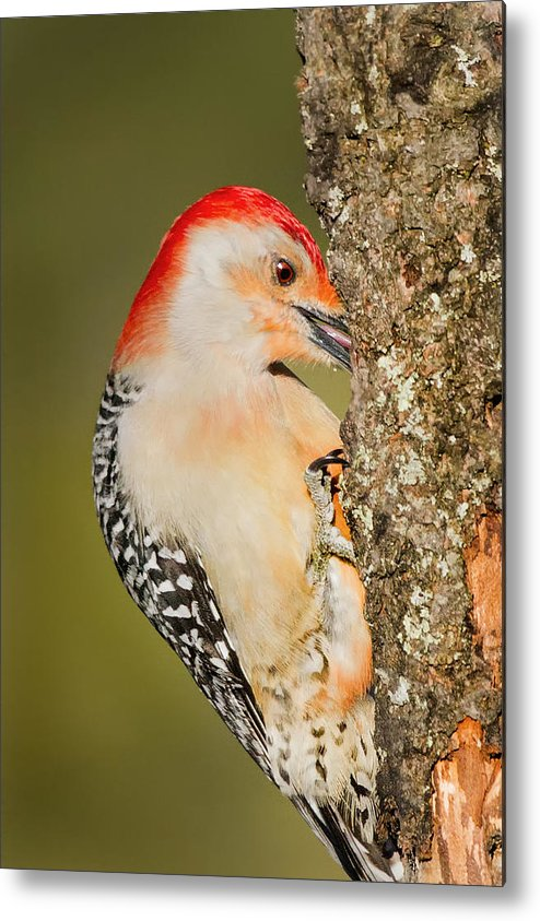 Woodpecker Metal Print featuring the photograph Diggin by Bill Wakeley