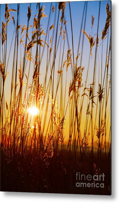 Common Metal Print featuring the photograph Dry Cane by Aleksey Tugolukov