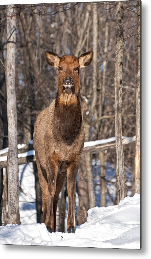 Elk Metal Print featuring the photograph Elk Pictures 50 by World Wildlife Photography