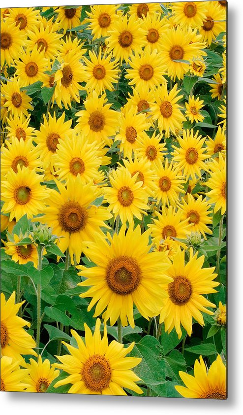 Agriculture Metal Print featuring the photograph Field Of Sunflowers by David Davis