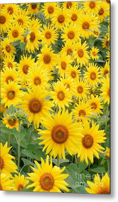 Flora Metal Print featuring the photograph Field Of Sunflowers Helianthus Sp by David Davis
