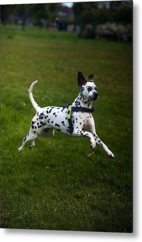 Dalmation Metal Print featuring the photograph Flying Crazy Dog. Kokkie. Dalmation Dog by Jenny Rainbow