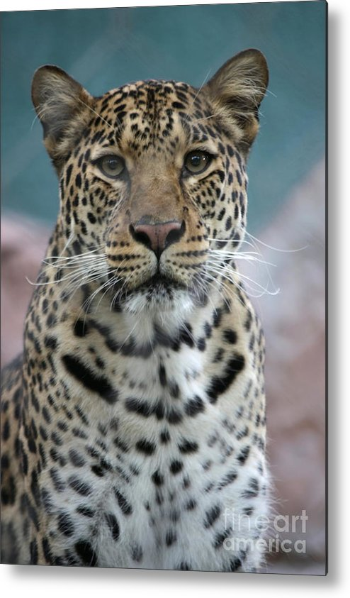 Africa Metal Print featuring the photograph Gazing Leopard by Keith Bell