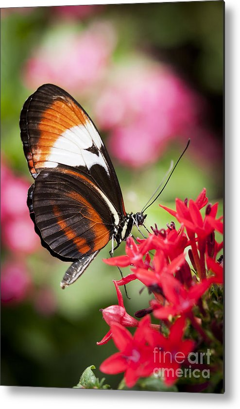 Butterfly Metal Print featuring the photograph Grace by Patty Colabuono